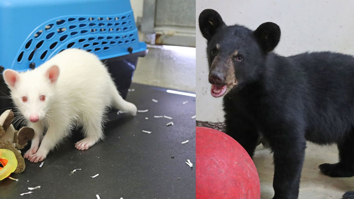 An albino raccoon, appropriately named Ghost, and American black bear named Mowgli, along with...