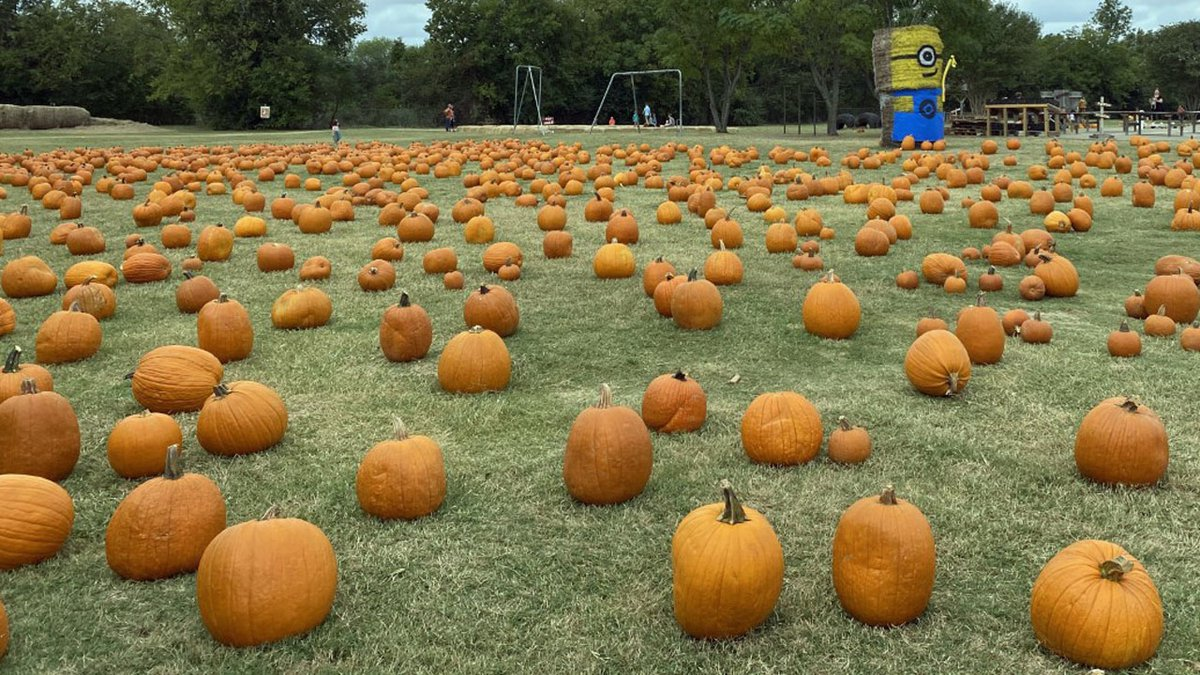 Masks and social distancing are required at the pumpkin patch.