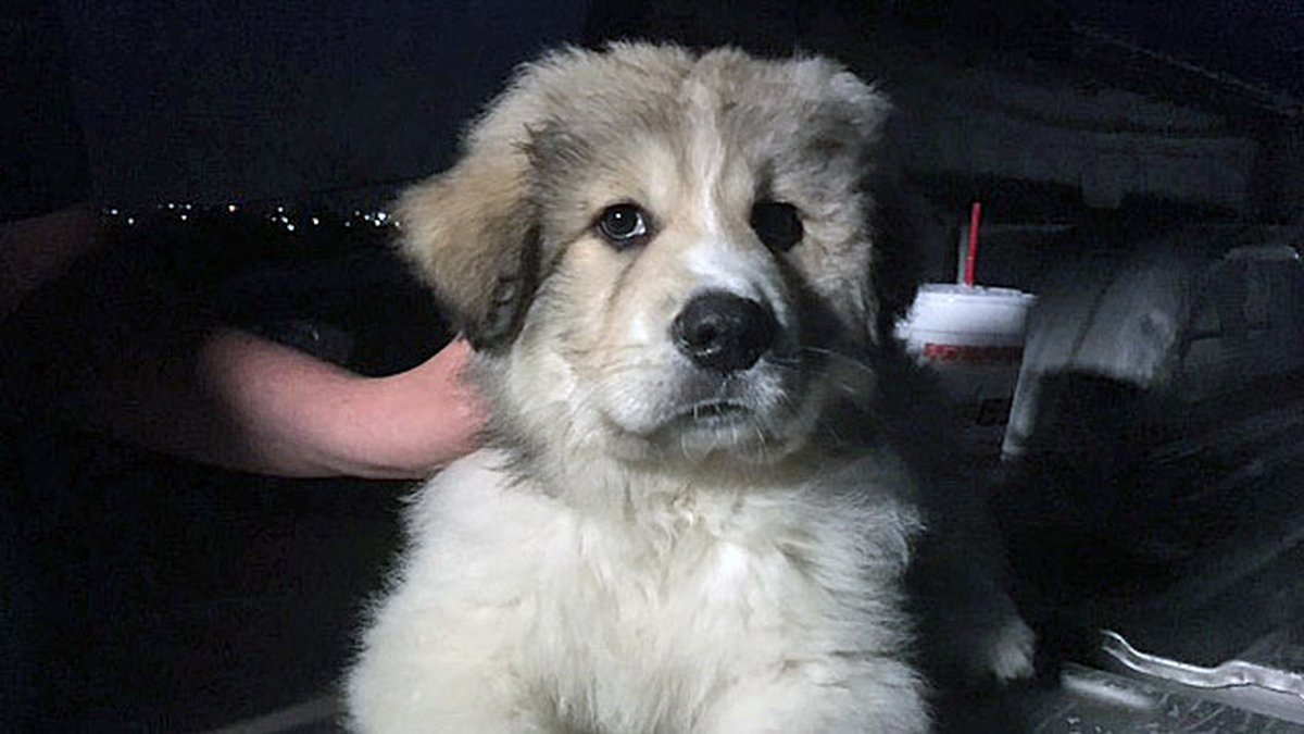 Case, a 9-week old Great Pyrenees puppy, is credited with alerting his owners to the fire that...