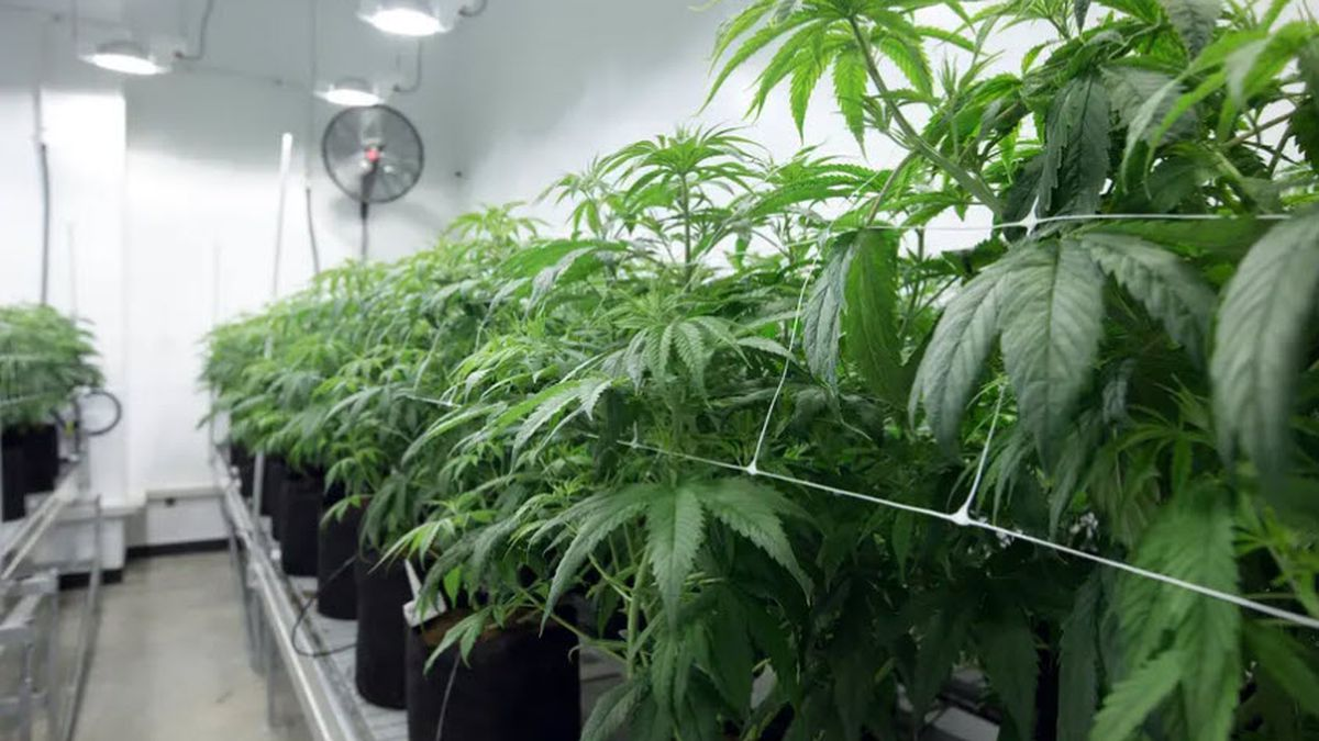 Marijuana plants at Compassionate Cultivation, a home-grown medical cannabis company in Austin....