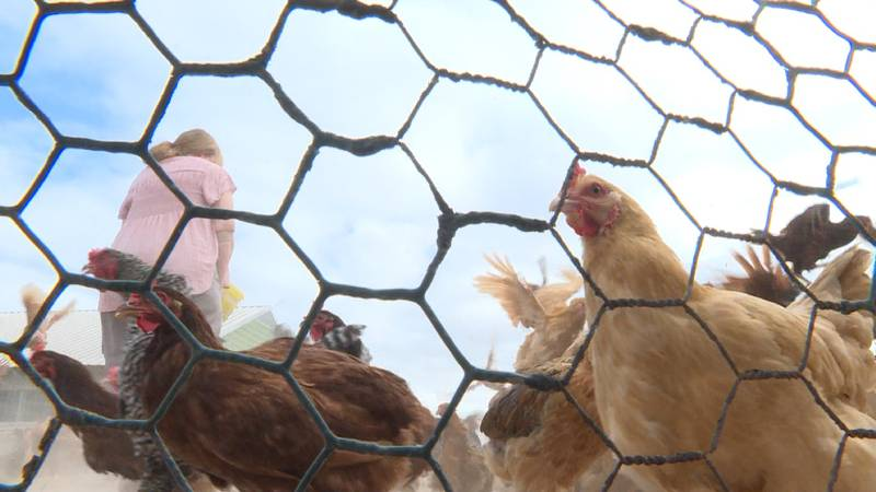 COVID-19 has hit many industries hard, however, experts say the chicken industry is...