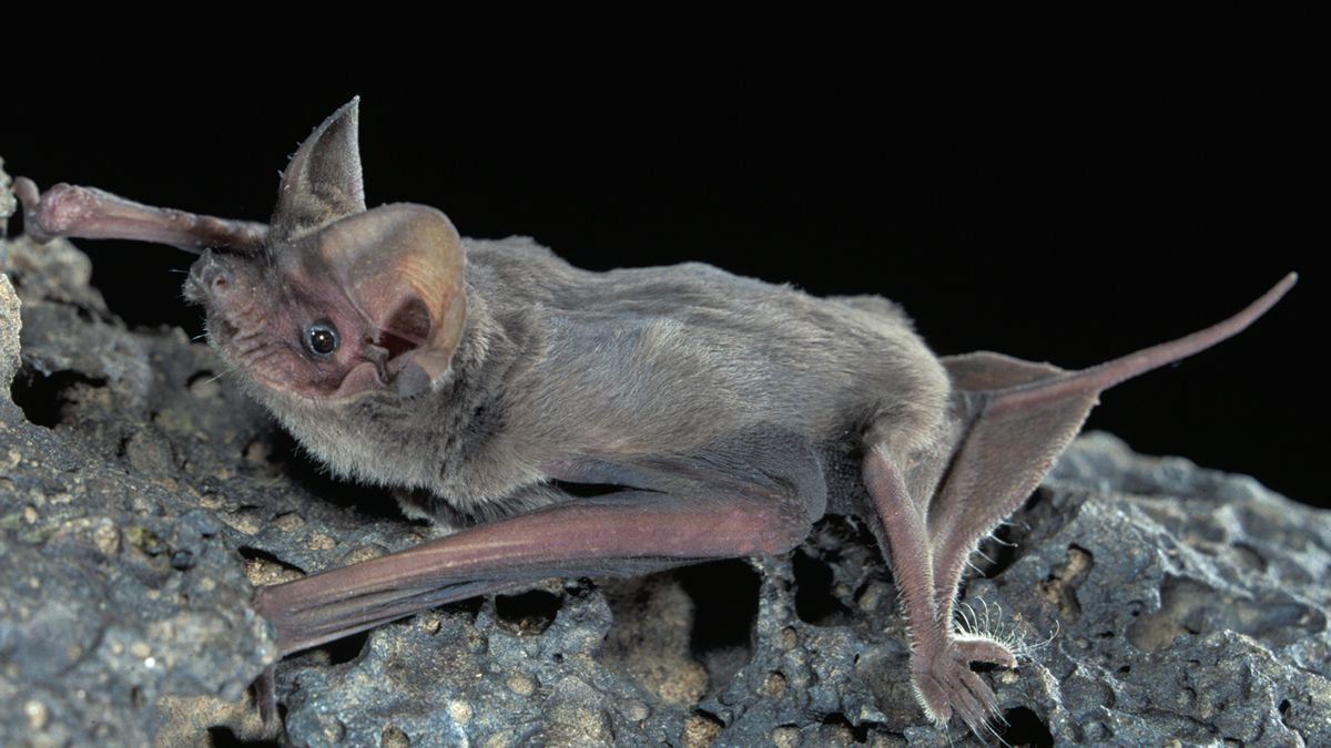 Mexican free-tailed bat. (Photo by J. Scott Altenbach, University of New Mexico via Texas Parks and Wildlife Dept.)