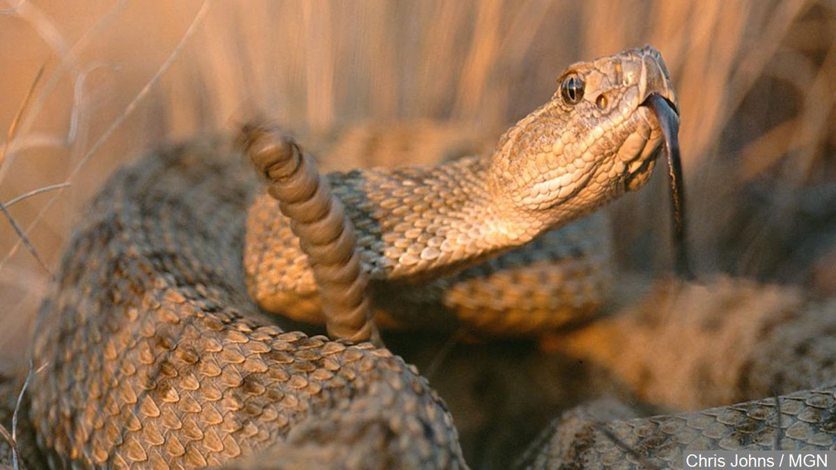 A local elementary school student ended up in the emergency room Tuesday after a rattlesnake...